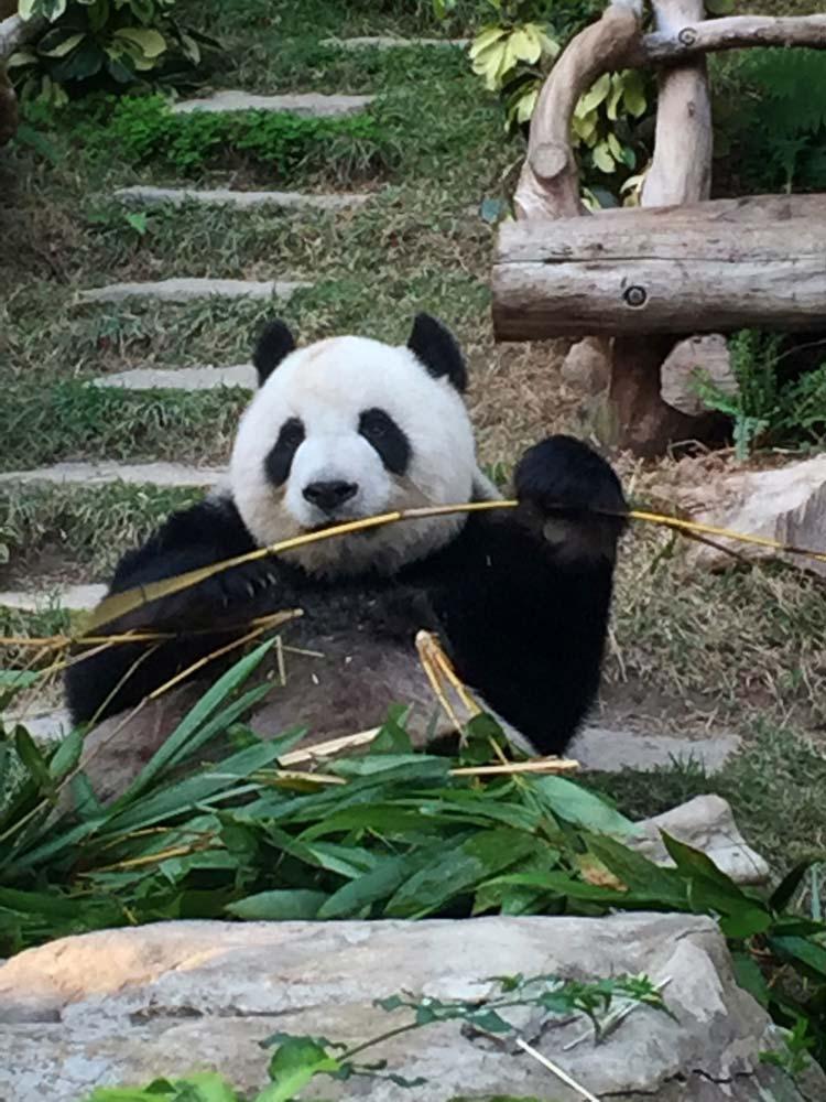 Cute panda in Chengdu Cost of Travel in China