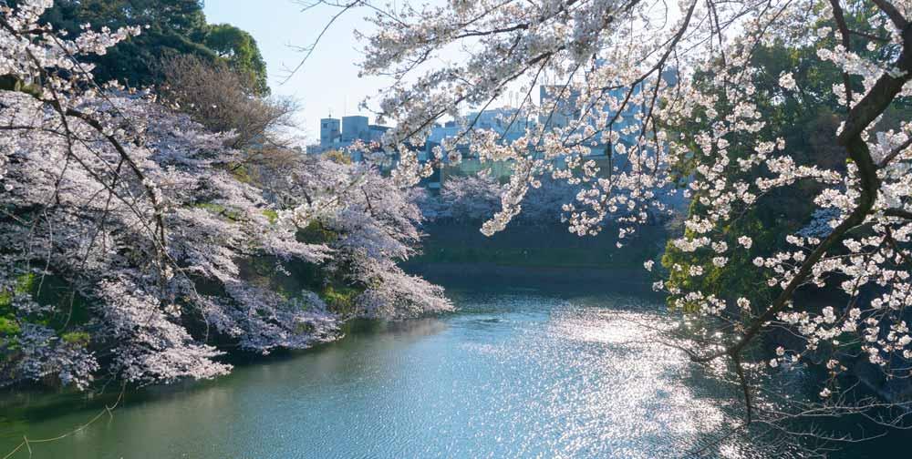 Chidorigafuchi Cherry blossom in tokyo japan