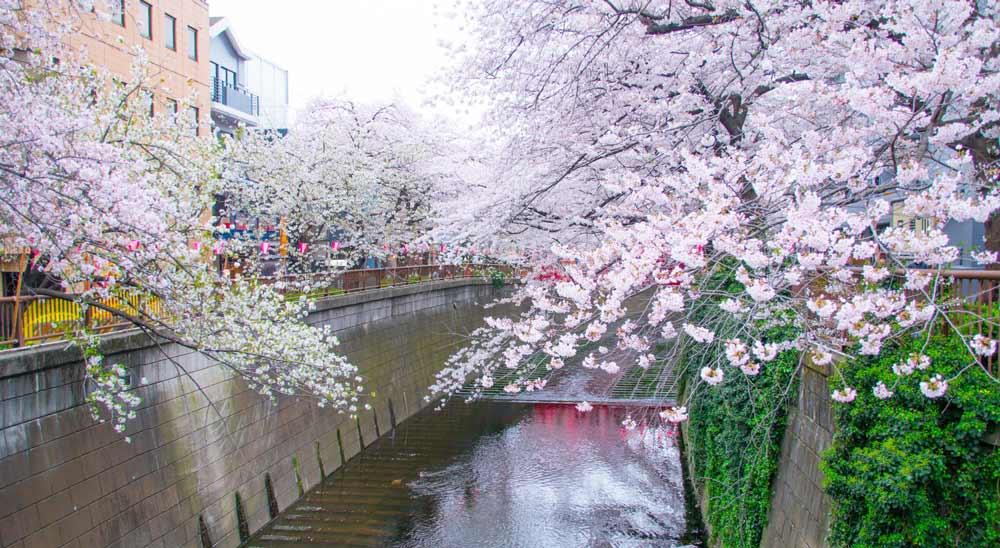 Meguro River Cherry blossom in tokyo japan