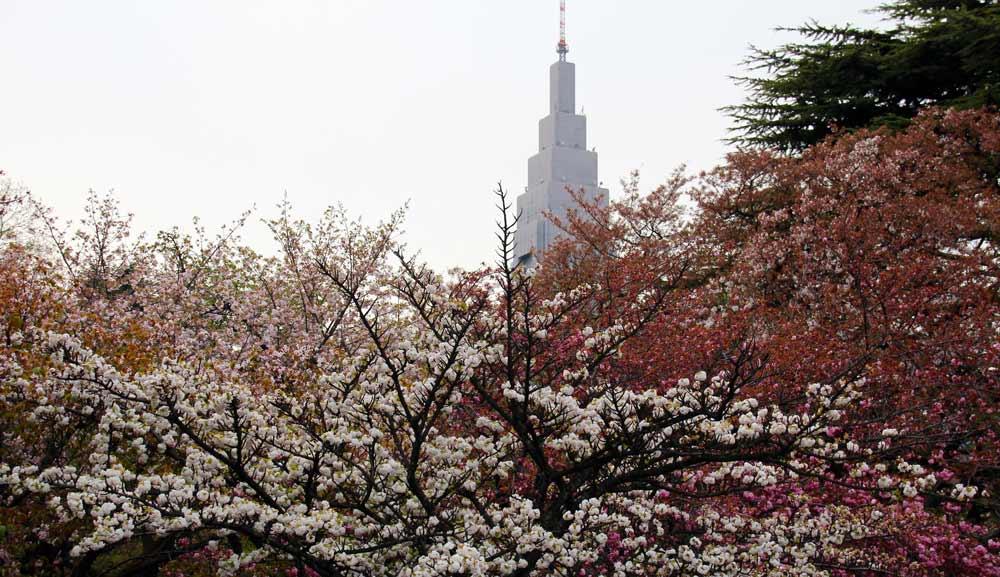 Shinjuku Garden Cherry blossom in tokyo japan