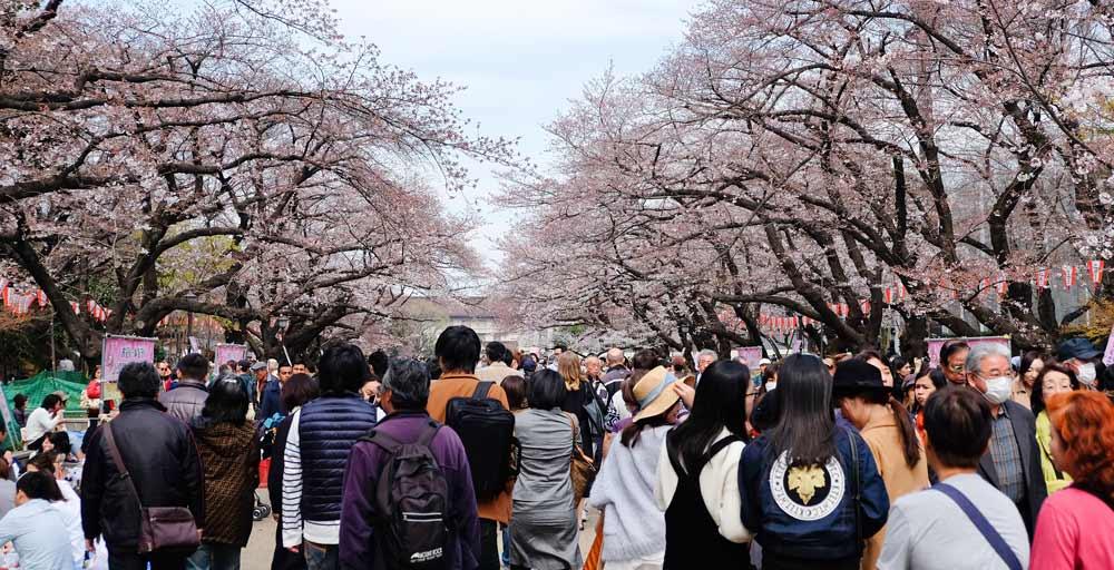 Ueno Park Cherry blossom in tokyo japan