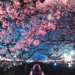 Cherry blossom in tokyo japan